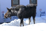 The Moose of Moose Street - Jackson Hole